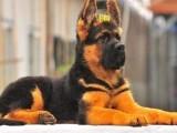 养殖场出售纯种德国牧羊犬弓背弯腿 德牧幼犬宠物活体