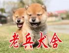 老兵高品质柴犬出售中质量三包购买可签协议完美售后