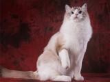 布偶猫幼猫活体海双蓝双仙女猫纯种长毛猫