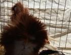 上海毛领鸽子多少钱一对呢