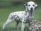 纯种斑点狗价格 纯种斑点狗多少钱