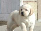 郑州纯种拉布拉多价格 郑州哪里能买到纯种拉布拉多犬