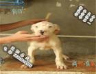 品质好一点的杜高犬多少钱 要纯种品相好的
