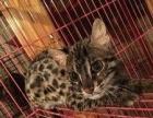 亚洲豹猫公母打包出售不单卖