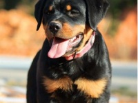 重庆犬舍出售德系罗威纳犬 优秀警卫犬 骨骼粗大威 猛罗威幼犬