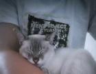 出售成年黏人暹罗猫