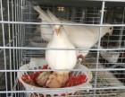 漯河鸽子养殖 批发鸽子 加盟包回收