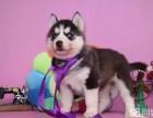 來自西伯利亞的純種三把火雙藍眼的哈士奇幼犬出售中