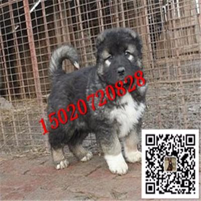 俄罗斯高加索犬多少钱 高加索幼犬出售 熊版高加索幼犬出售