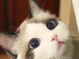 河源本地猫舍出售各类宠物猫 爱宠一家把萌宠带回家
