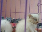 纯白波斯猫 800 猫咪价格以标题价格为准