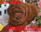 热销中专业基地直销出售泰迪幼犬