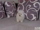 出售纯种球体博美犬茶杯犬幼犬袖珍长不大迷你俊介犬宠物狗狗