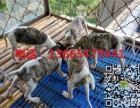 格力幼犬多少钱,纯种格力幼犬养殖场