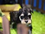 湛江哪里有宠物狗卖 小体雪纳瑞纯种雪纳瑞幼犬