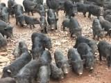 安徽铜陵市特种藏香猪与纯种藏香猪的不同