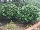 最新绿化苗木供应湖南精品红叶石楠球,红叶石楠精球