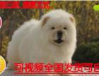 犬舍基地直销包纯种保健纯种肉嘴松狮幼犬多窝出售公母均有 签保