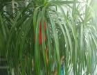 两米高绿植便宜卖