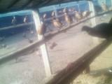 七彩山鸡厂,常年供应野鸡,