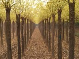 常州急售30公分皂角树 价格便宜