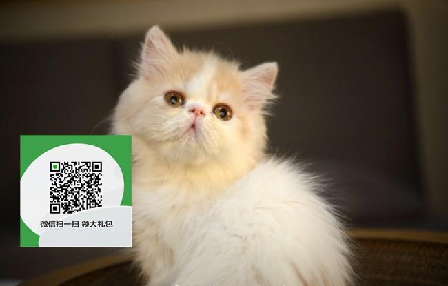 镇江哪里有加菲猫出售 镇江加菲猫价格 镇江宠物猫转让出售