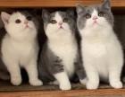 蓝猫蓝白渐层美短布偶加菲只做健康猫无数买家的选择