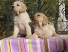 兰州哪里有卖拉布拉多 拉布拉多幼犬多少钱