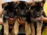 您買的不僅是狗狗 更是一份品質一份放心 純種德牧