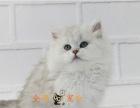 漂亮可爱性格温婉金吉拉幼猫 超漂亮头版大保纯种健康