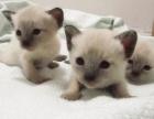 可爱的挖煤君 上海家养暹罗猫 做好猫五联 会用1