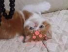 太原哪里有卖加菲猫幼崽 太原较便宜加菲猫多少钱一只保健康
