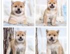 高品质纯种柴犬幼犬出售 自家犬舍繁育 购买可签协议