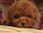 出售纯种泰迪犬贵宾犬泰迪幼犬活体茶杯犬棕红色泰迪狗