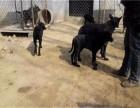 成都正规繁殖基地出售大中小型宠物犬保健康可送上门选