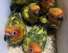 轉讓人工繁殖金太陽鸚鵡 和尚鸚鵡 亞歷山大鸚鵡 小太陽鸚鵡