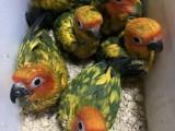 出售金太陽雛鳥 和尚 亞歷山大 越南鷯哥 吸蜜幼鳥