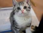 名猫公馆出售纯血统短毛猫 疫苗驱虫已做 保证纯种健康