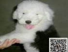 出售纯种古牧幼犬 品质保证价格合理 欢迎挑选