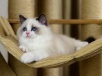 --到店挑选--布偶猫/海双蓝双--免费送货到家