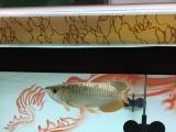 转让金龙鱼,25公分