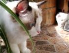 专业布偶猫舍 推出高品布偶猫