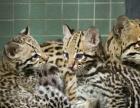 出售一对豹猫,已会繁殖