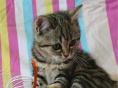 火爆出售英国短毛猫 美国短毛猫等名猫