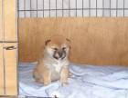 精品柴犬包纯种保健康签协议出售全国可飞可上门