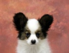 出售蝴蝶犬终身质保完美售后可上门挑选 可刷卡