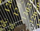 养殖场人工繁殖松鼠全年出售,魔王松鼠,金花松鼠