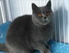 十一个月红眼蓝猫母出售