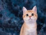 金渐层 母猫 WCF血统证书 英短 英国短毛猫
