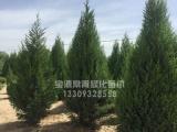 苗木价格-供应甘肃有品质的刺柏